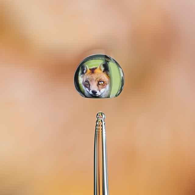 """""""Fox in water"""" stock image"""