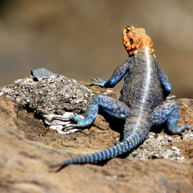 """A sunbathing Agama lizard"" stock image"