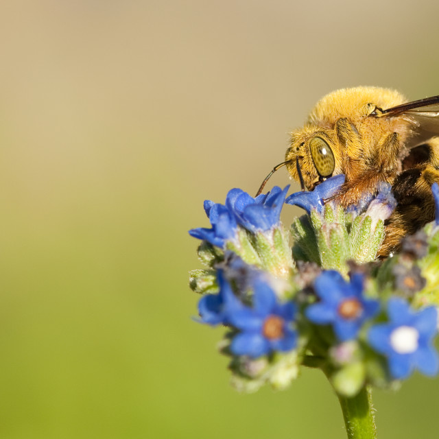 """""""Bee collection pollen"""" stock image"""