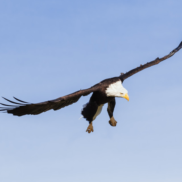 """Bald Eagle looking for lunch"" stock image"