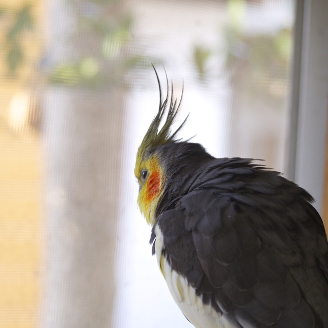 """Cockatiel looking at the outside"" stock image"