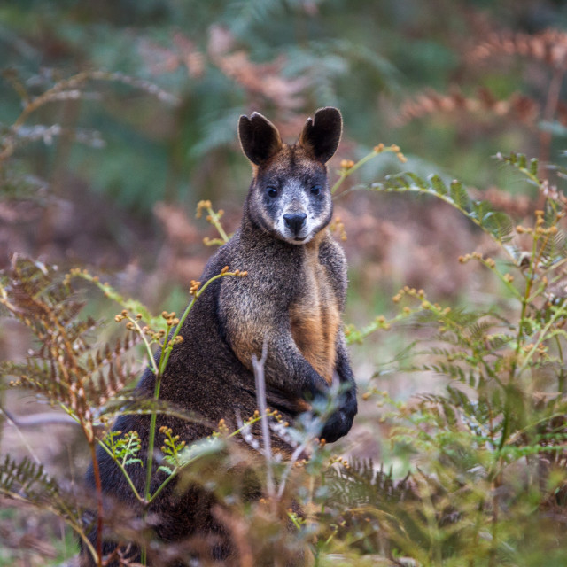 """""""Swamp Wallaby"""" stock image"""