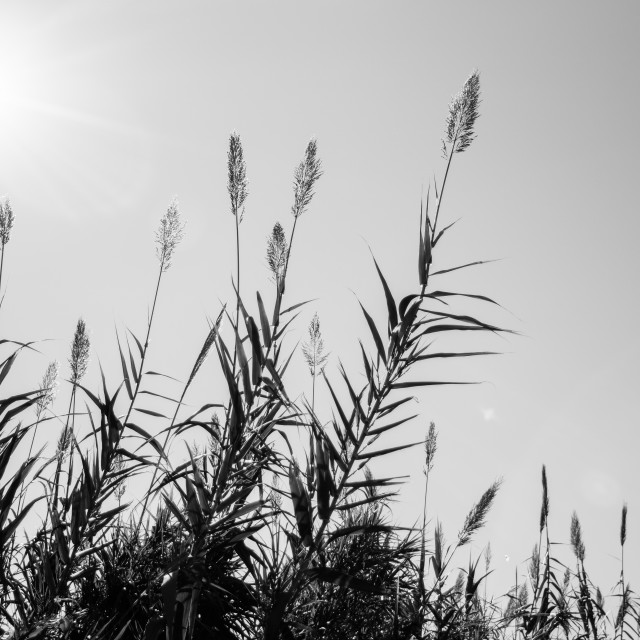 """""""Reed In The Sun"""" stock image"""