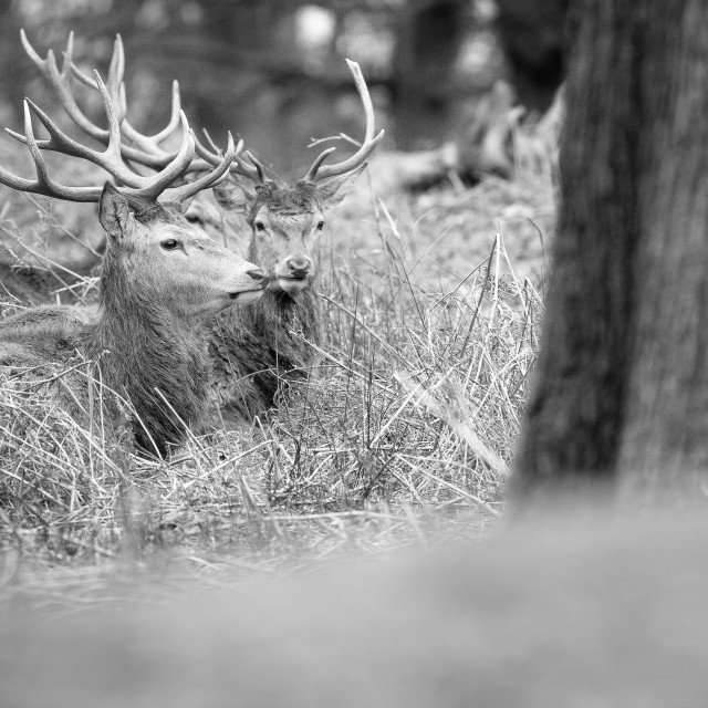 """Three Stags"" stock image"