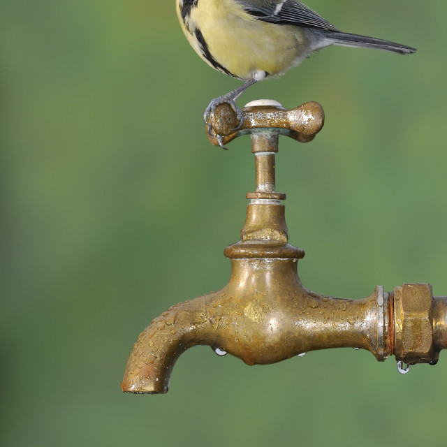 """Big tit sitting on rusty faucet"" stock image"