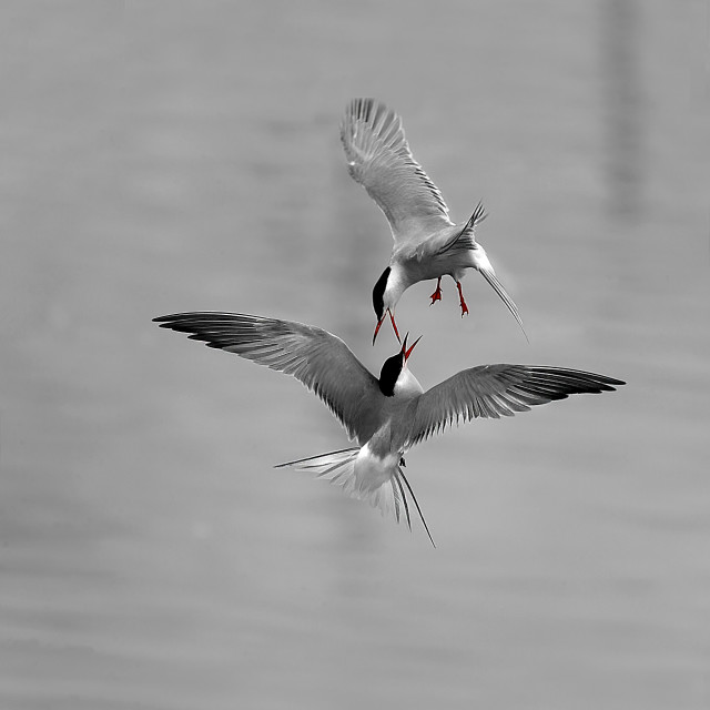 """Common terns,battling."" stock image"