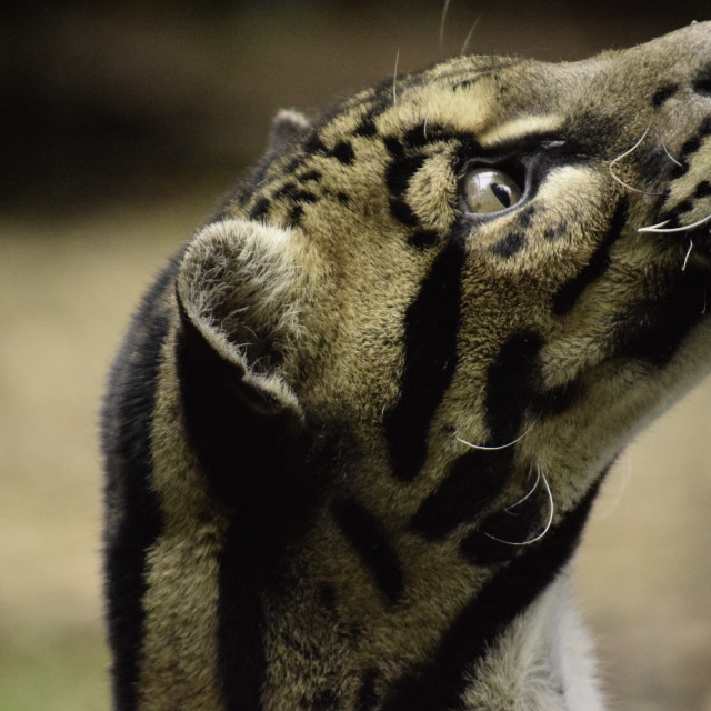 """Clouded Leopard"" stock image"