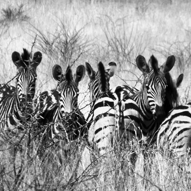 """Five Head to Tail Zebra in Black & White"" stock image"