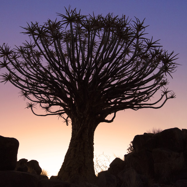 """Sunset Quiver Tree, Garas Park, Namibia"" stock image"