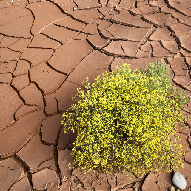 """Survivor in the Desert - Yellow Flowering Shrub Against Cracked Dry Sands of the Desert"" stock image"