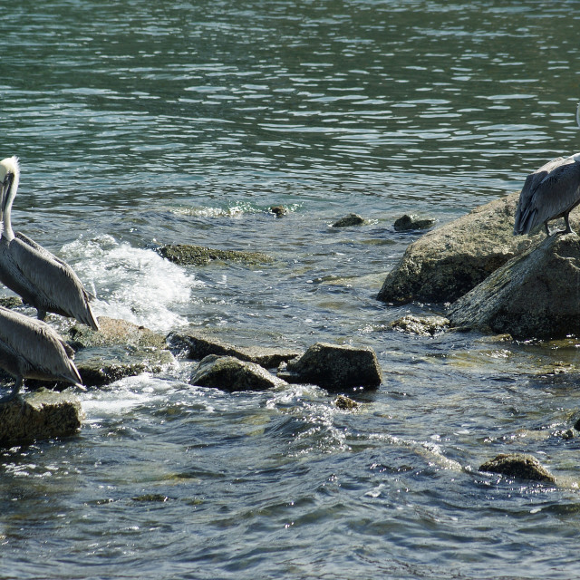 """""""Pelicans on some rocks."""" stock image"""