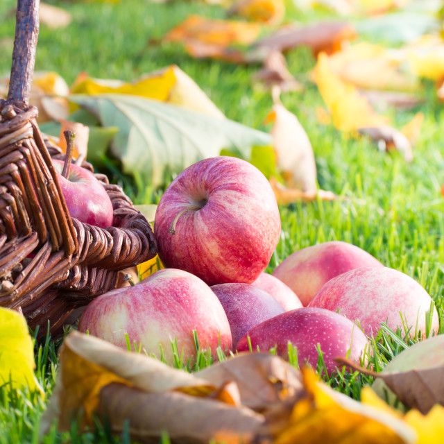 """apple harvest"" stock image"