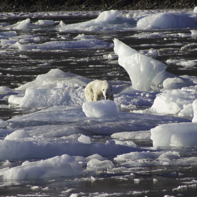 """Polar Bear on an Ice Flow in the Arctic Circle"" stock image"