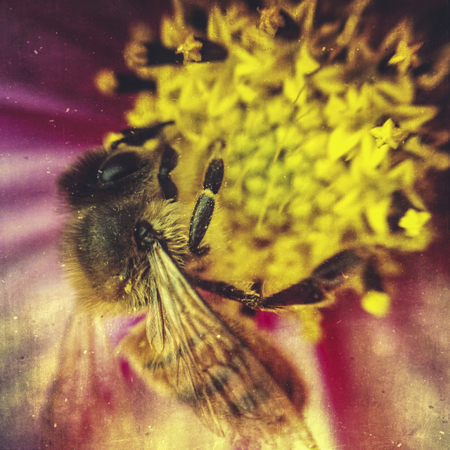 """Bee on dahlia"" stock image"
