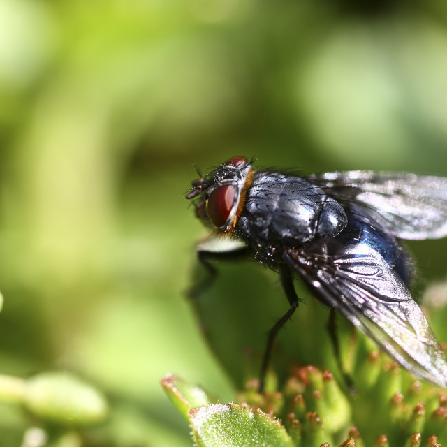 """Close-up of a fly"" stock image"