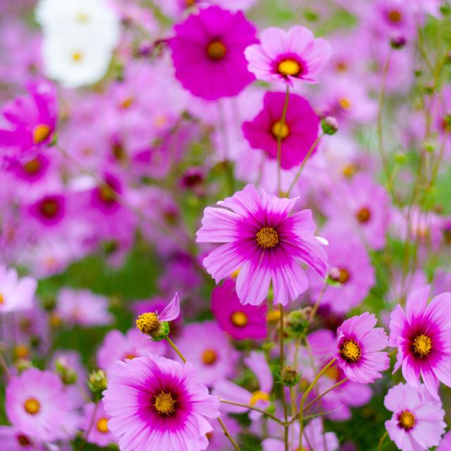 """Beautiful pink flowers in garden"" stock image"