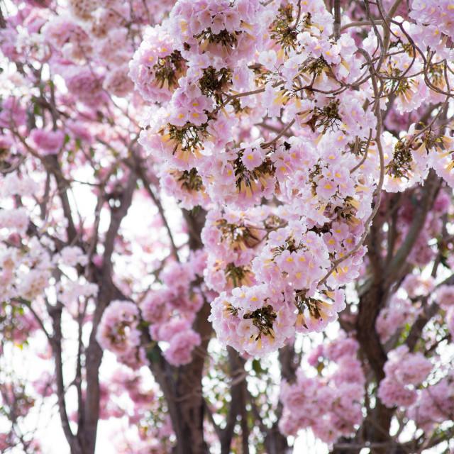 """Cherry blossom trees garden"" stock image"