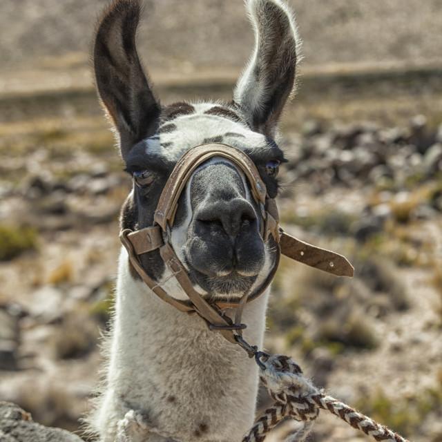 """Harnessed llama"" stock image"