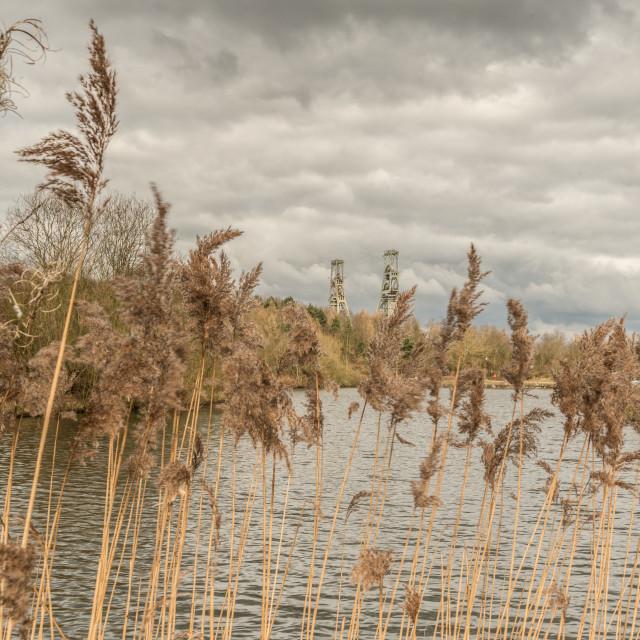 """Vicar Water Reeds"" stock image"