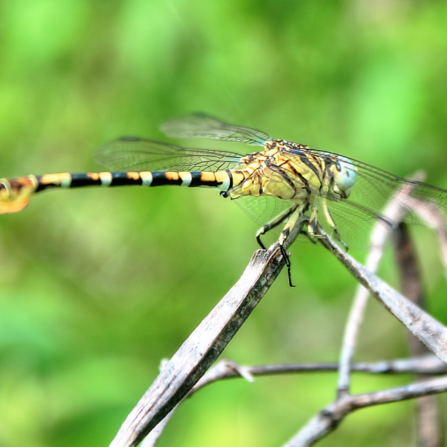 """""""tiger dragonfly"""" stock image"""