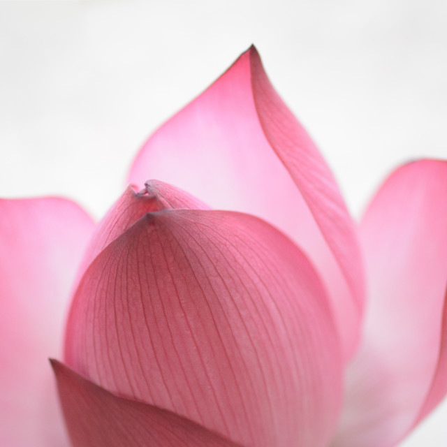 """Soft Lotus Blossom"" stock image"