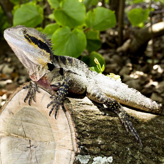 """""""Lizard Eastern Water Dragon"""" stock image"""