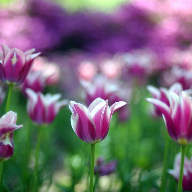"""purple tulips in community garden"" stock image"