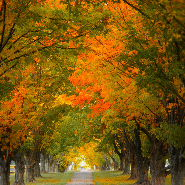 """""""autumn tree lined path"""" stock image"""