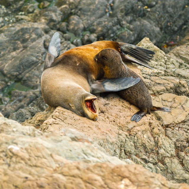 """The Fur Seal and her baby"" stock image"