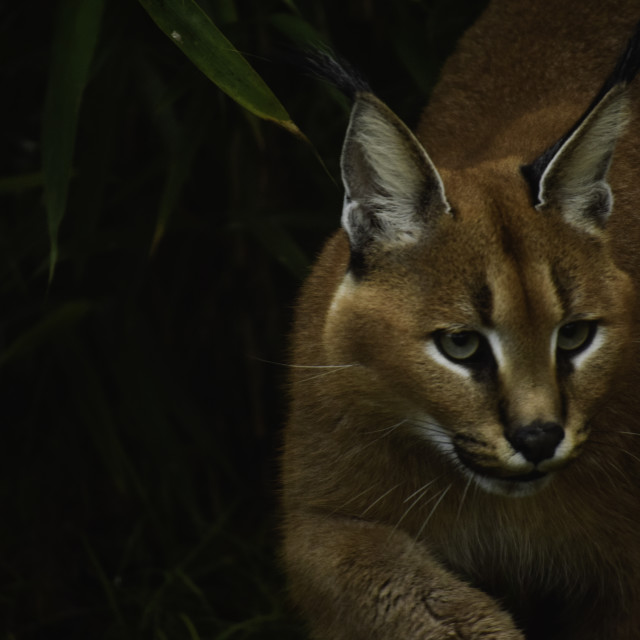 """Caracal,stealthy predator"" stock image"