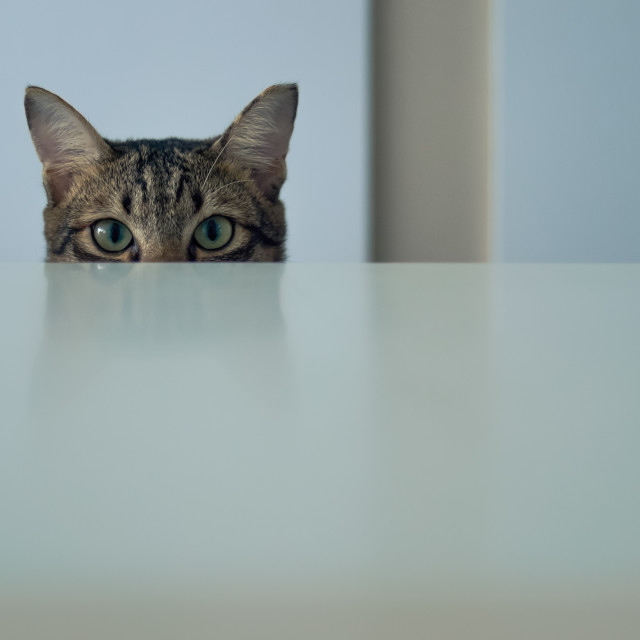 """The cat behind the counter"" stock image"