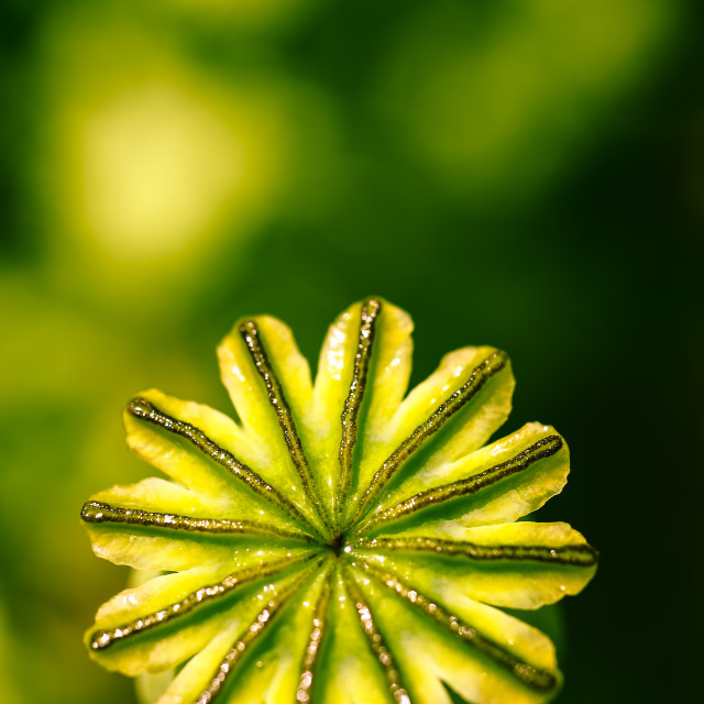 """Poppy seed head"" stock image"