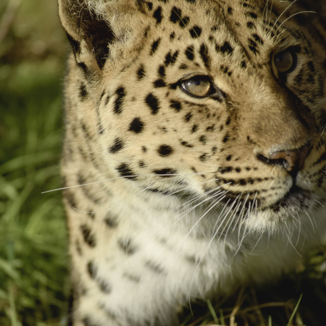 """Beautiful Armur Leopard"" stock image"