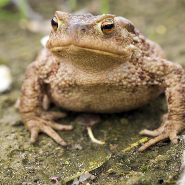 """Toad"" stock image"