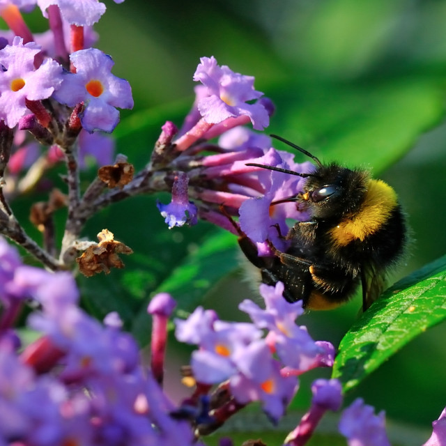 """Bee in Lilac"" stock image"