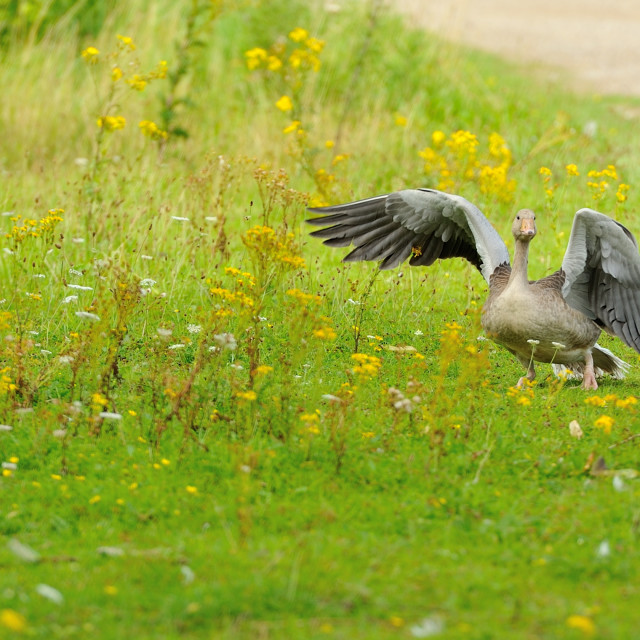 """Goose on green meadow"" stock image"