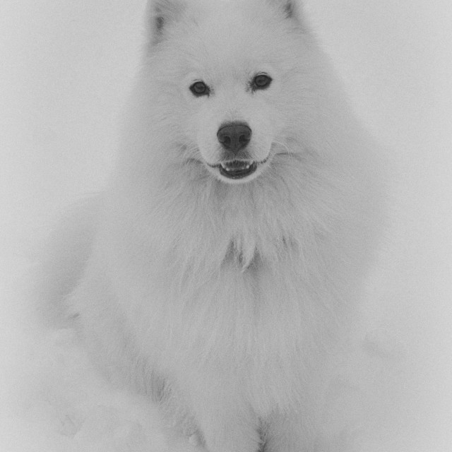 """Samoyed in the snow"" stock image"