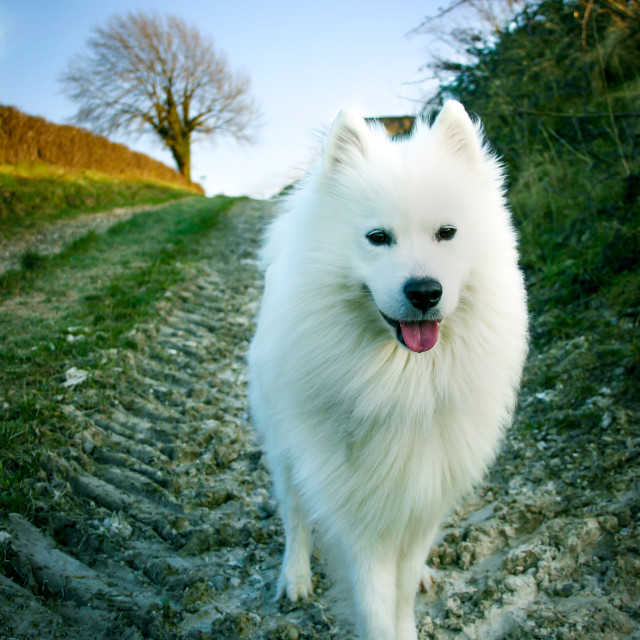 """Samoyed husky"" stock image"