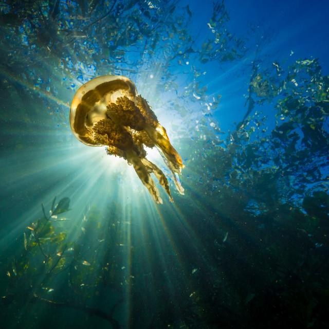 """""""Mangrove jellyfish"""" stock image"""