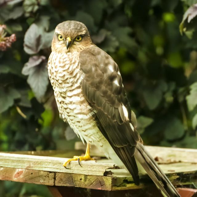 """Sparrow Hawk"" stock image"