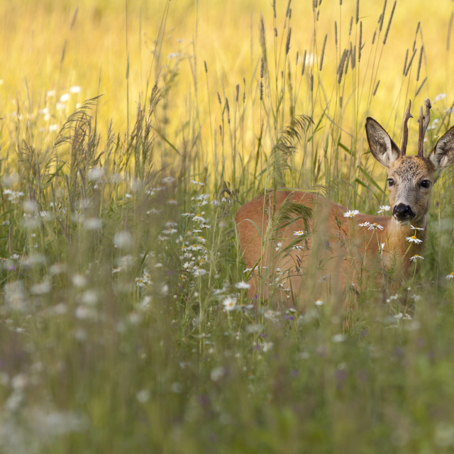 """Buck deer in a clearing"" stock image"