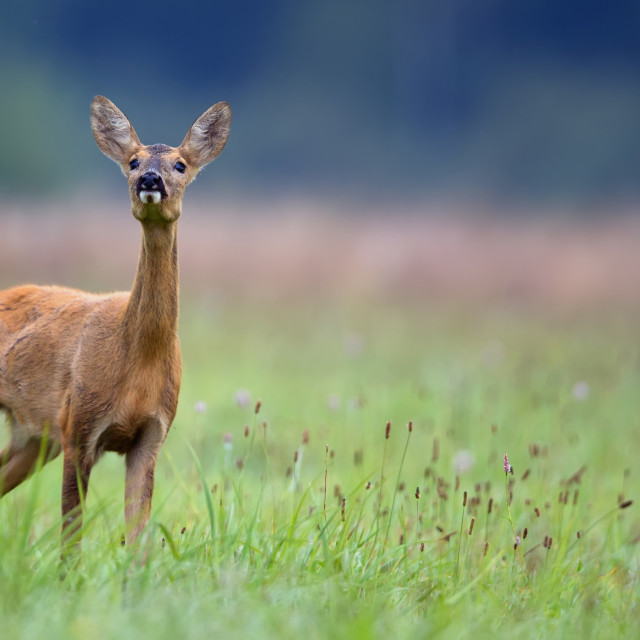 """Roe-deer in the wild"" stock image"