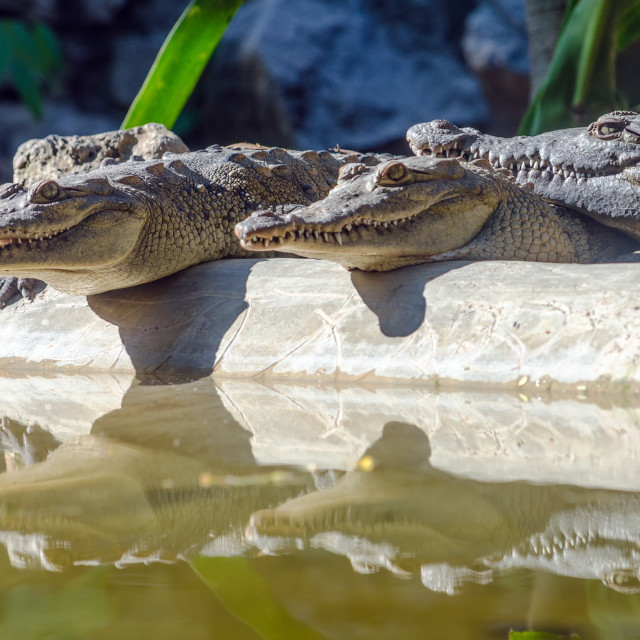 """Crocodiles and Reflections"" stock image"
