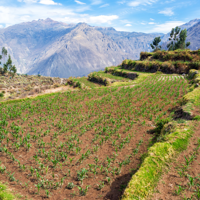 """Corn Growing in Colca Canyon"" stock image"