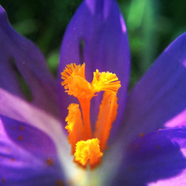 """Crocus flower"" stock image"