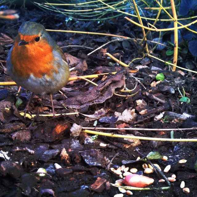 """Robin in woodland"" stock image"