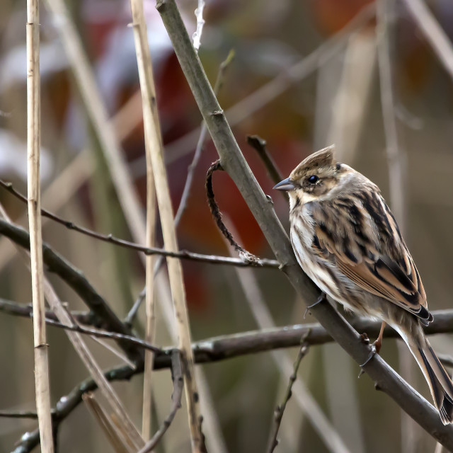"""Young Reed Bunting 1."" stock image"