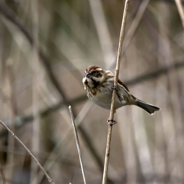 """Young Reed Bunting 5."" stock image"