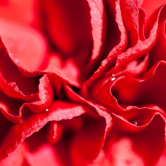 """Red Carnacion Flowers"" stock image"