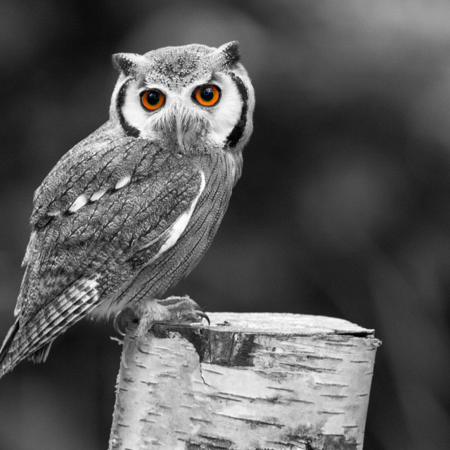 """""""Southern White-Faced Owl"""" stock image"""